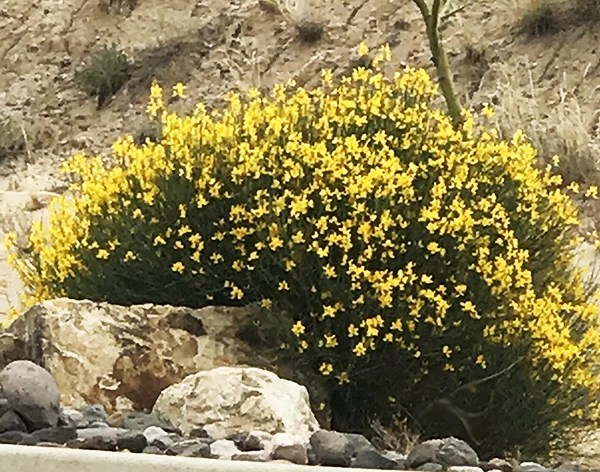 Spanish broom plant drought tolerant shrub guzmansgreenhouse during the spring season it will bloom fragrant yellow flowers it will produce seed pods in early summer this plant will do well in xeriscape landscaping mightylinksfo