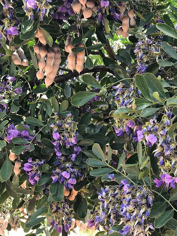 The Texas Mountain Laurel Tree
