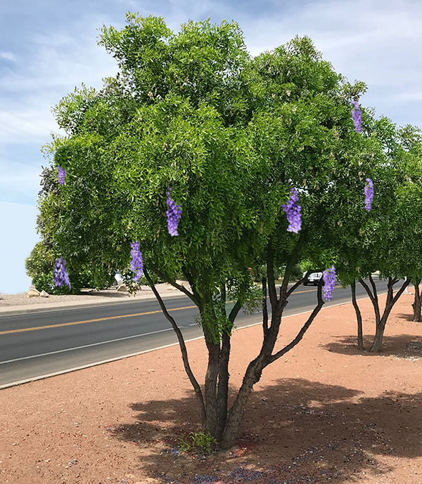 The Texas Mountain Laurel Tree A Great Flowering Desert