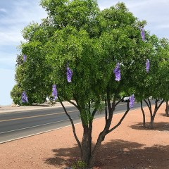 texas-mountain-laurel-tree