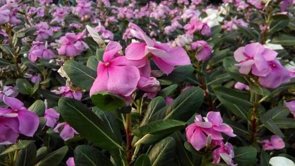 Vinca Plant Care