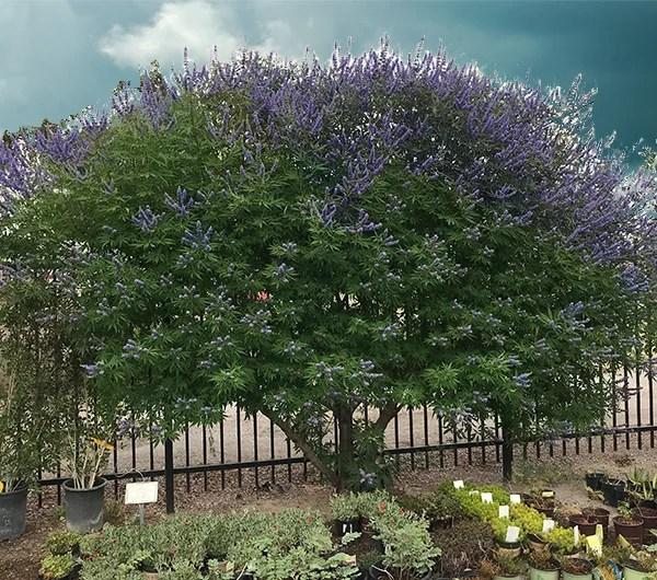 The Vitex Tree