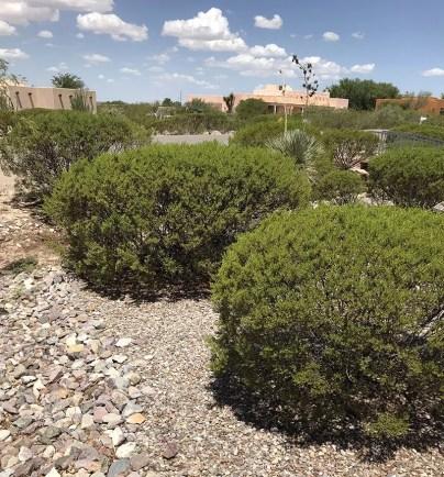 Desert Evergreen Shrubs