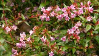 Abelia Plants