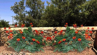 red-bird-paradise-plants2