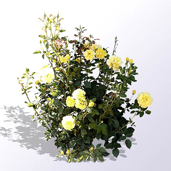 A yellow shrub rose