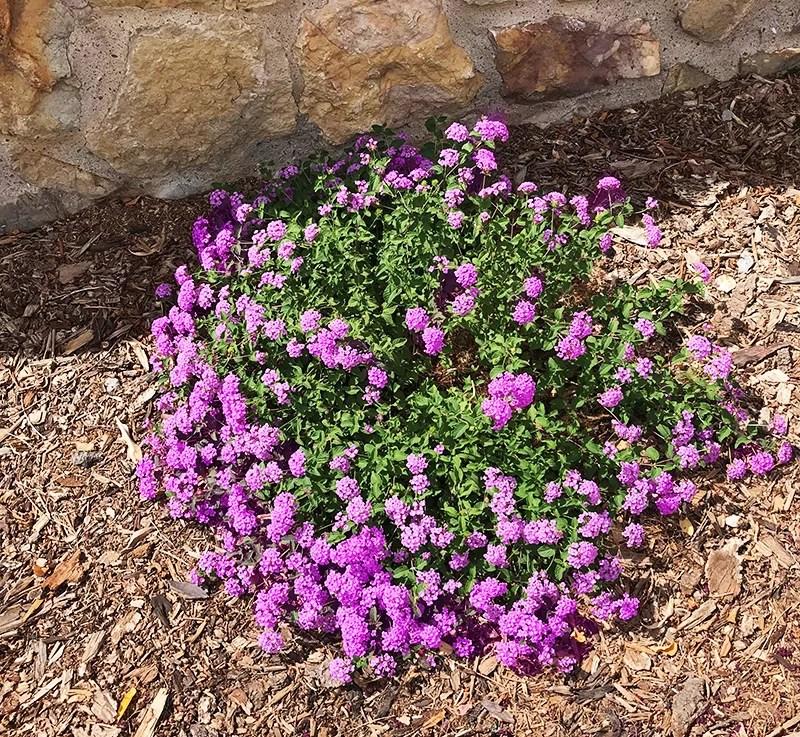 Buy Lantana Plants Lantana Plants For Full Hot Summer Sun