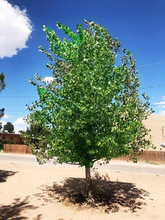 The Western Cottonwood Tree