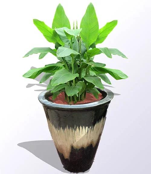 dwarf banana plant2