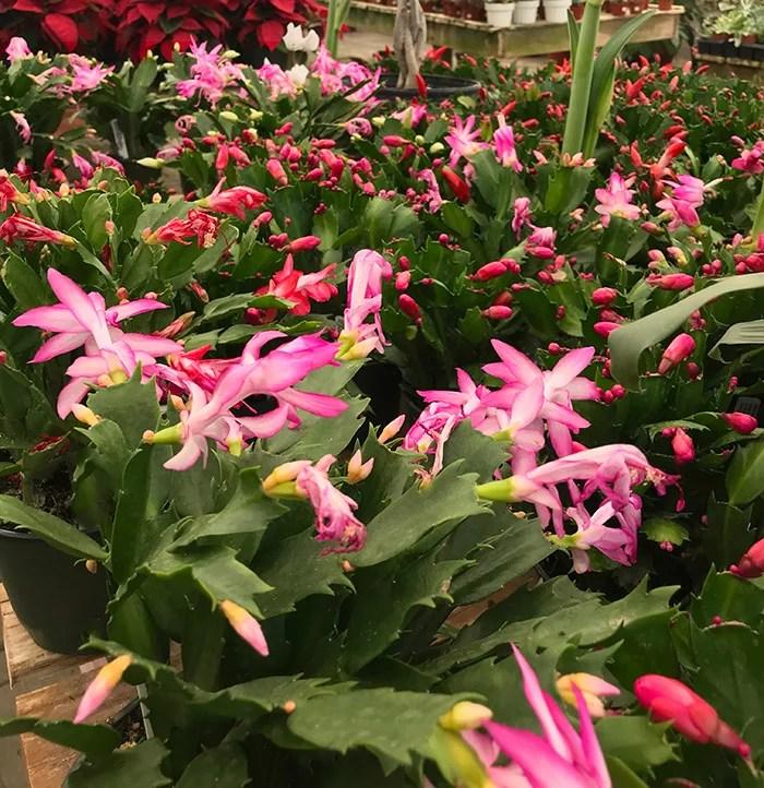 How To Grow Christmas Cactus.Grow Christmas Cactus Guzman S Greenhouse