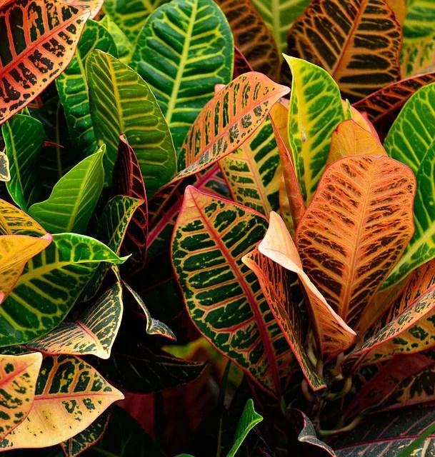 Croton Plants For Indoor Decoration