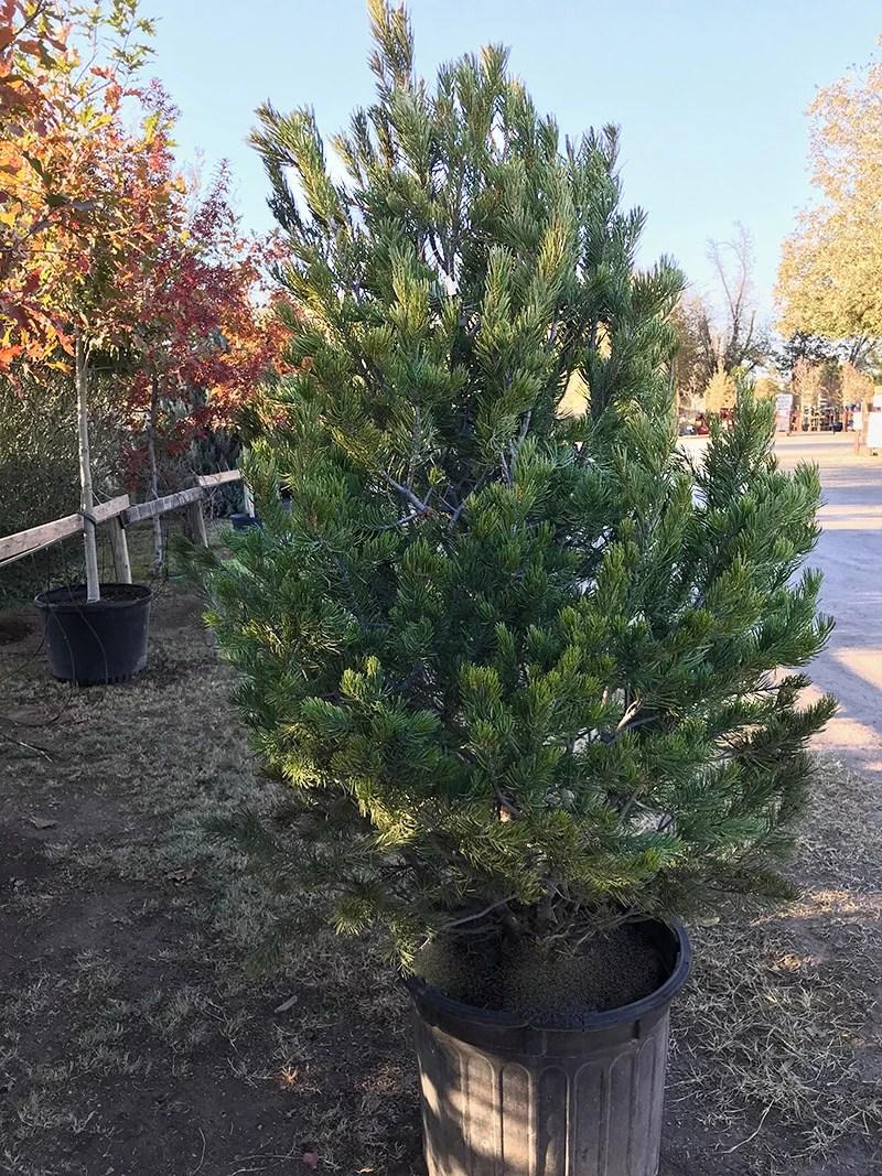 Christmas Trees Las Cruces
