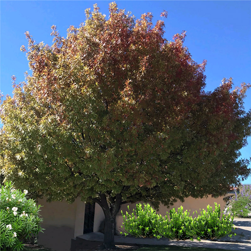 Shumard Red Oak Information Guzman S Greenhouse