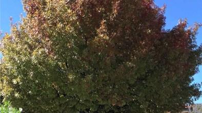 Shumard Red Oak information