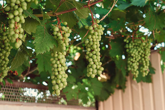 Growing Grape Vines at Home