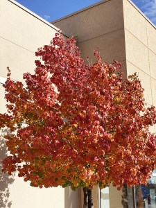 The fall color of Ornamental pear trees