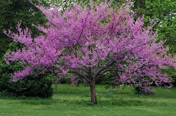 The Redbud Trees