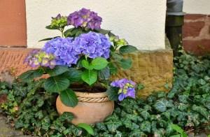 Hydrangeas in a pot
