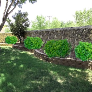 Pittosporum for Southwest landscape