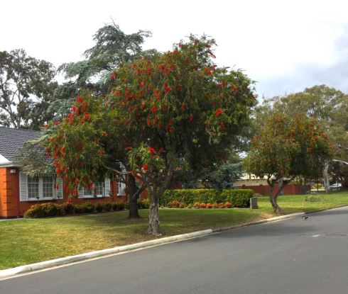 The Bottlebrush plant as a small tree