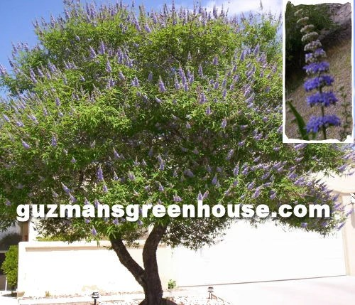 The blooms of the Vitex Tree