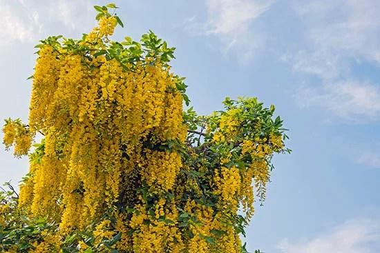 The Golden Rain Tree