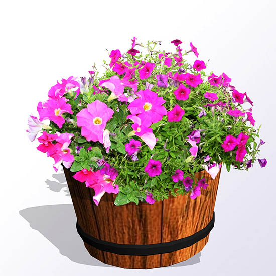 Petunias for containers