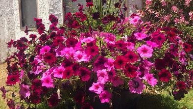 Wave petunias for color