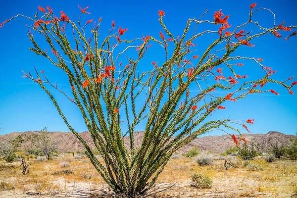 Ocotillo in the desert