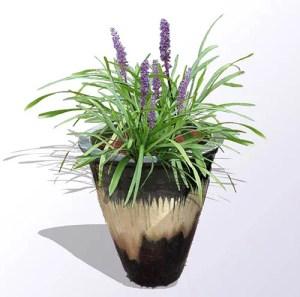 Lily Turf Plants