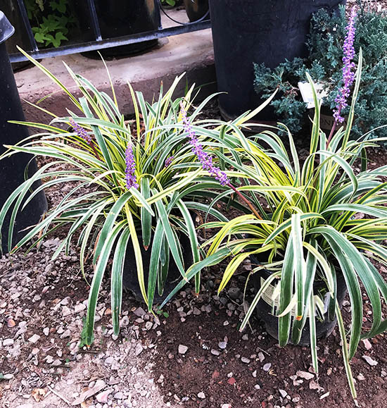 Lily turf plants for landscape