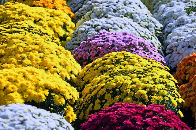Landscaping with Mums
