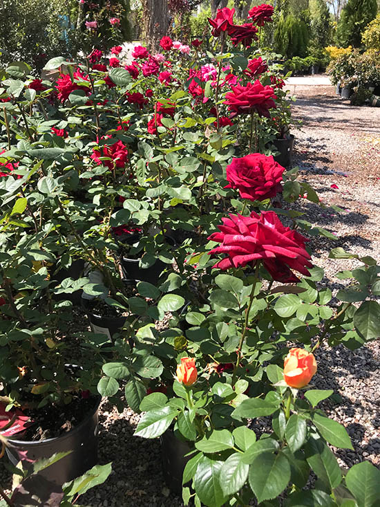 Keeping Your Roses Healthy