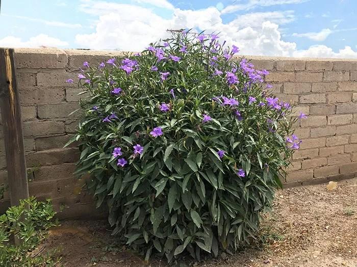 Mexican Petunia Plant