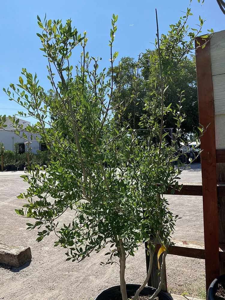 New Mexico Privet