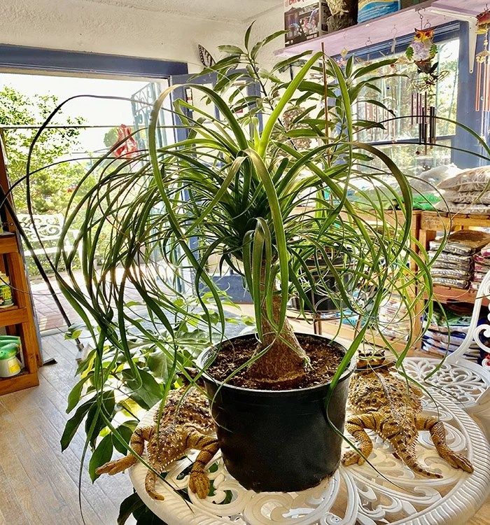The Ponytail Palm Plant