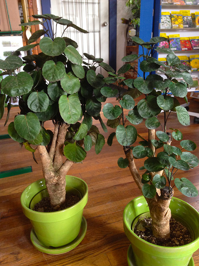 Fabian Aralia Plant