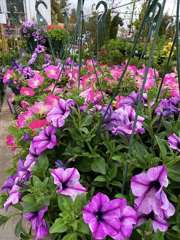 Hanging Petunia Baskets at Guzman's Greenhouse