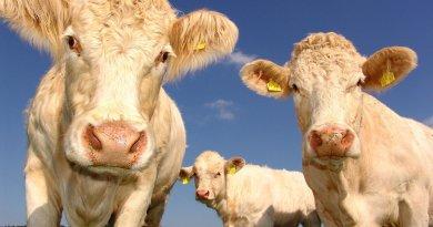 Vaca, Carne,suspenden exportaciones