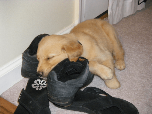 Zoe sleeping on shoes