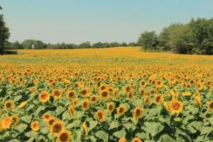 Sunflower Field - Molly T
