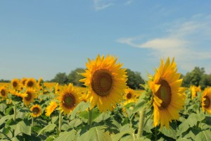 Sunflower rows - Molly T