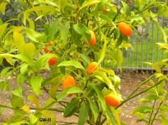 Israeli orange tree