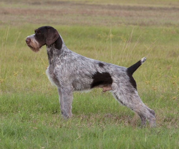 Stud Dog Directory – German Wirehaired Pointer Club of America