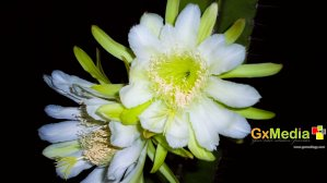 Flower from my cactus.