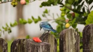Another Blue Bird!