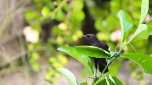 Black bird on my lime tree...