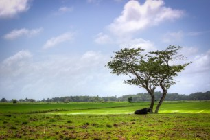 Another Frame of Cow under the tree