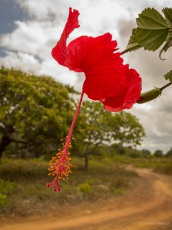 Hibiscus -Red