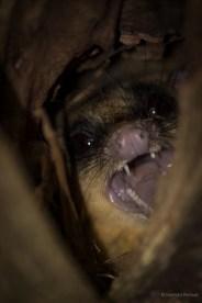 Tree Possum
